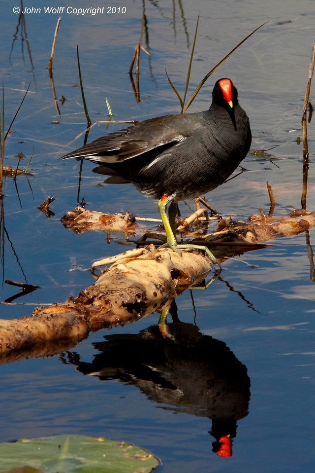 Moorhen Reflection