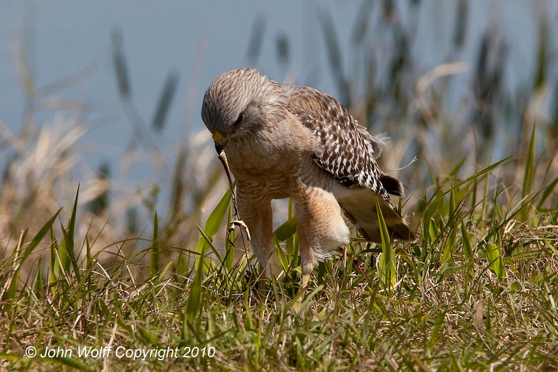 Red Shouldered Hawk eating