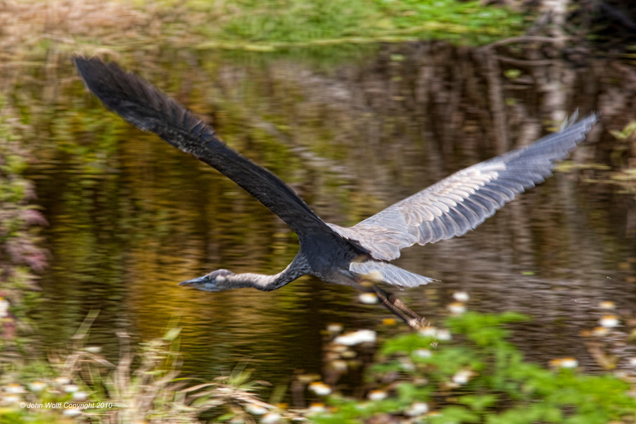 Flying Great Blue Heron