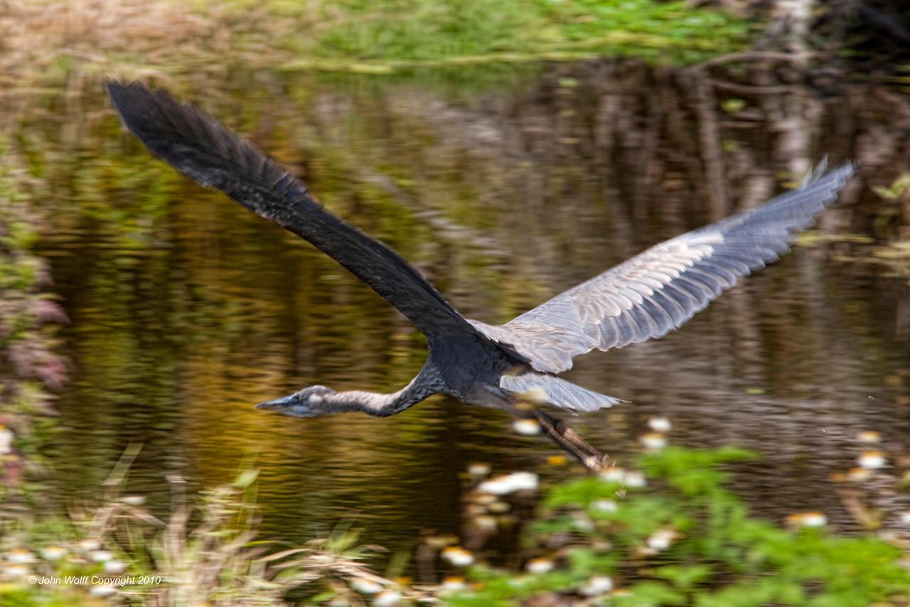 Flying Great Blue Heron