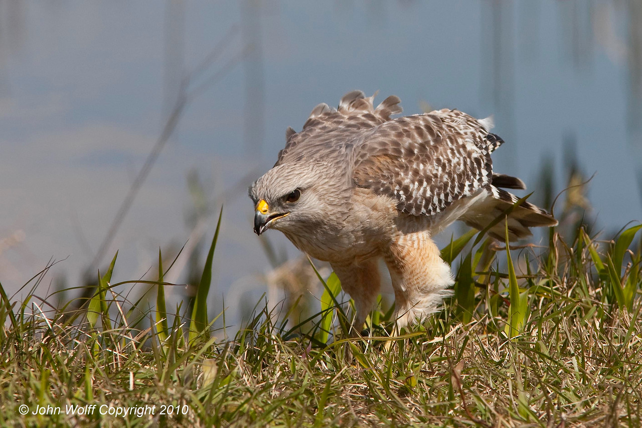 Red Shouldered Hawk about to launch