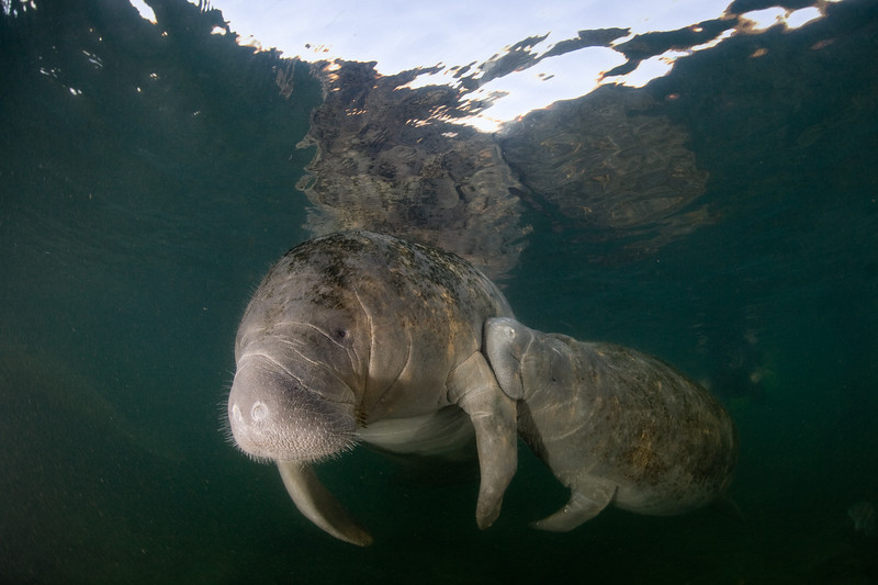The baby manatee is suckling; the mother's teats are under her flippers.