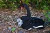 A black goose and gosslings at Eola Lake Park in Orlando, Florida, USA.