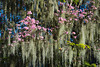 Moss hanging on a tree with pink spring flowers in Orlando, Florida, USA.