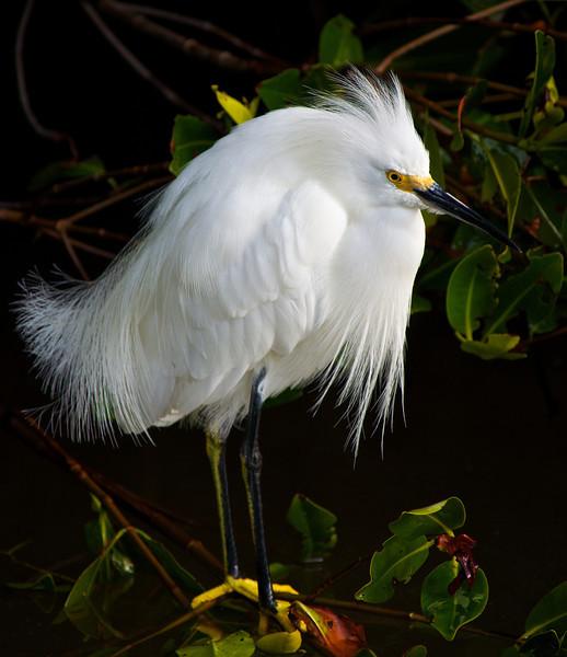 Birds SW FL - snowy Egret
