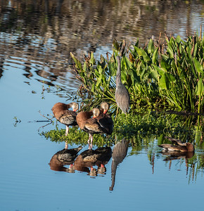 Black-bellied Whistling-Ducks with Great Blue Heron, Wakadohatchee Wetlands, FL