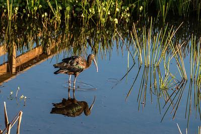 Glossy Ibis,