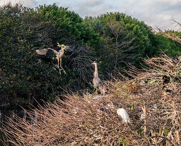 Great Blue Heron bringing nest material, Wakodahatchee Wetlands, Florida