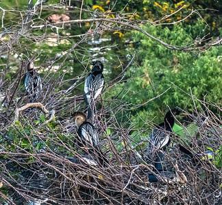 Anhinga fledglings, Wakodahatchee Wetlands, Florida