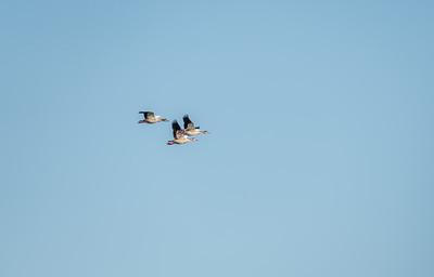 Egyptian Geese, Wakodahatchee Wetlands, Florida