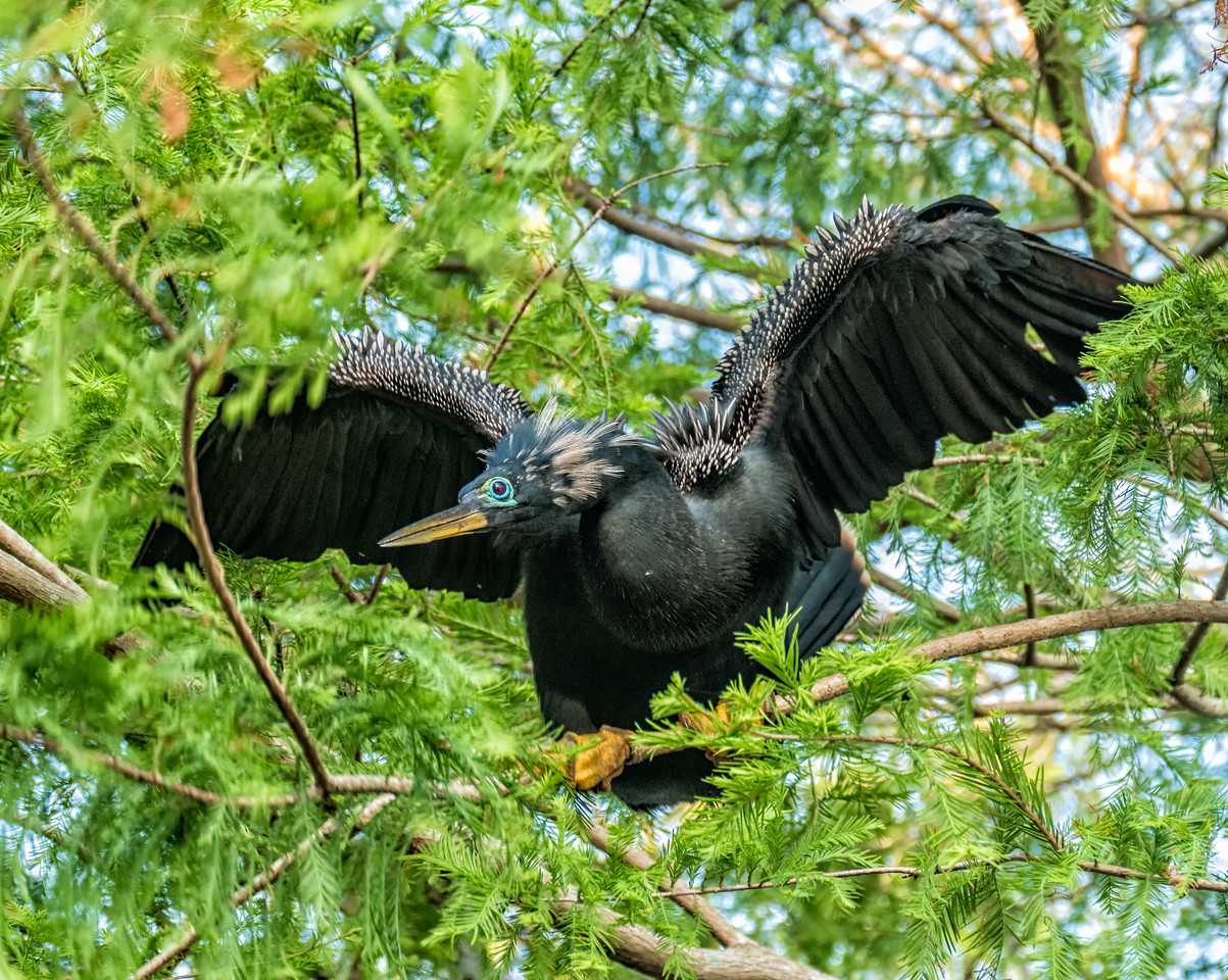 Anhinga fledgling