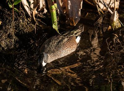 Blue-winged Teal, Wakodahatchee Wetlands, FL