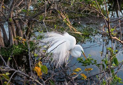 Great Egret in Breeding Plumage, Wakodahatchee Wetlands, Florida