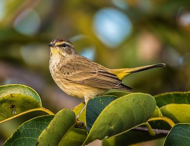 Palm Warbler (no. 2)