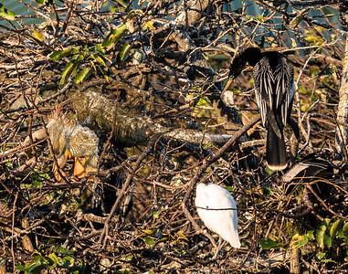 Green Iguanas with Anhinga and Cattle Egret, Wakodahatchee Wetlands, FL