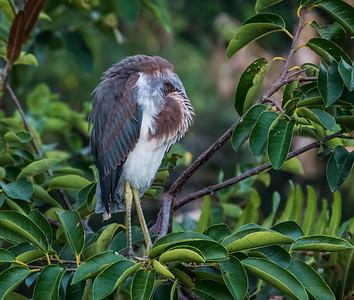 Tricolored Heron sleeping, Wakodahatchee Wetlands, FL
