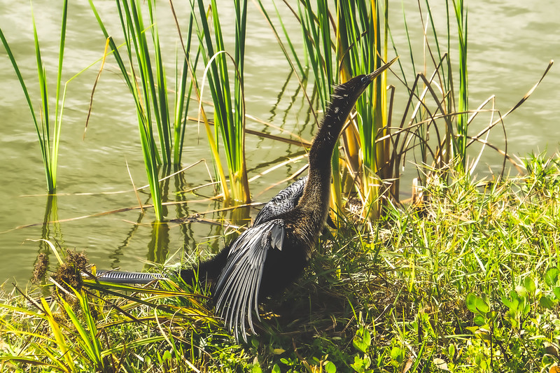 Anhinga at Ritch Grissom Memorial Viera Wetlands in Melbourne Florida