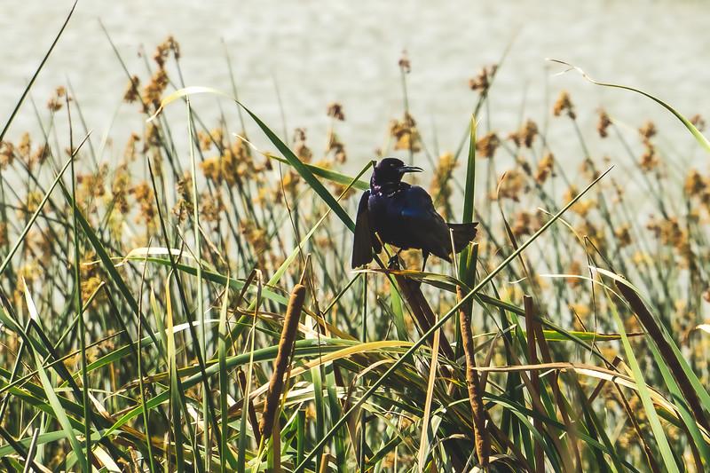 Black Bird at Ritch Grissom Memorial Viera Wetlands in Melbourne Florida