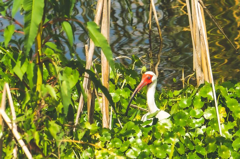 White Ibis at Ritch Grissom Memorial Viera Wetlands in Melbourne Florida