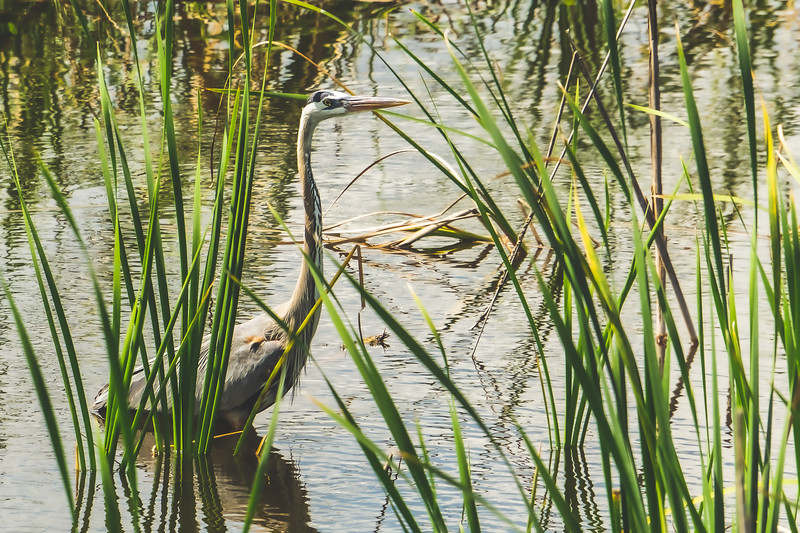 Heron at Ritch Grissom Memorial Viera Wetlands in Melbourne Florida