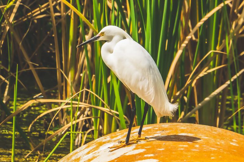 Egret at Ritch Grissom Memorial Viera Wetlands in Melbourne Florida