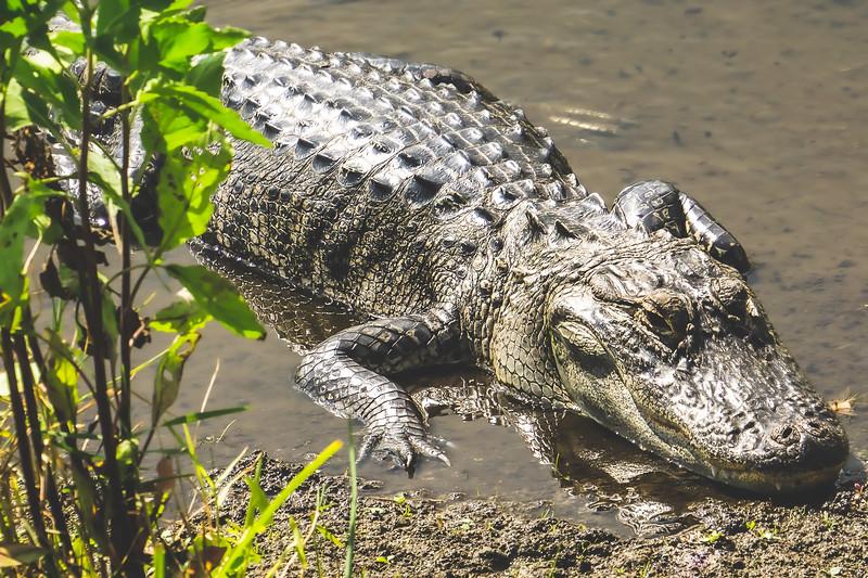 Crocodile at Ritch Grissom Memorial Viera Wetlands in Melbourne Florida