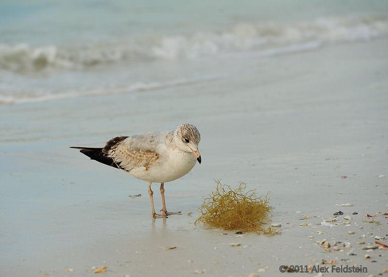 Herring gull, Siesta Beach