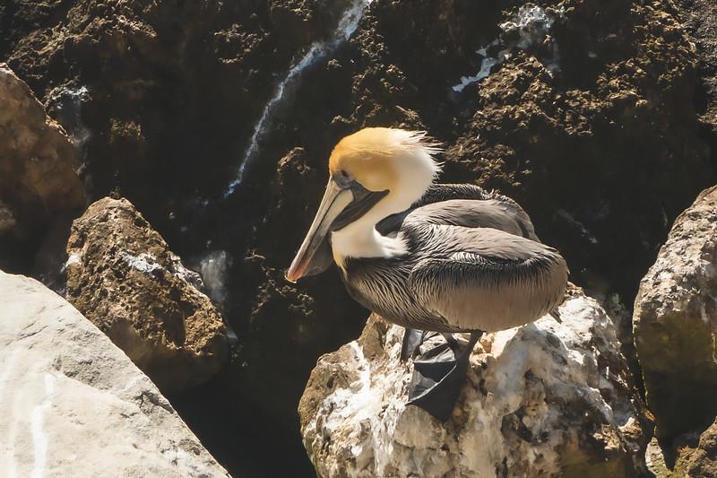 Pelican at Sebastian Inlet State Park in Melbourne Beach Florida