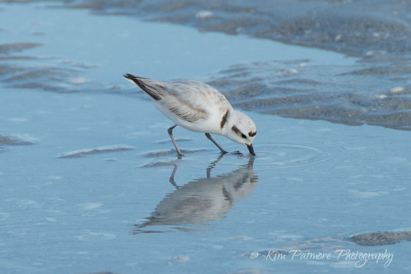 Reflection - Protected Snowy Plover