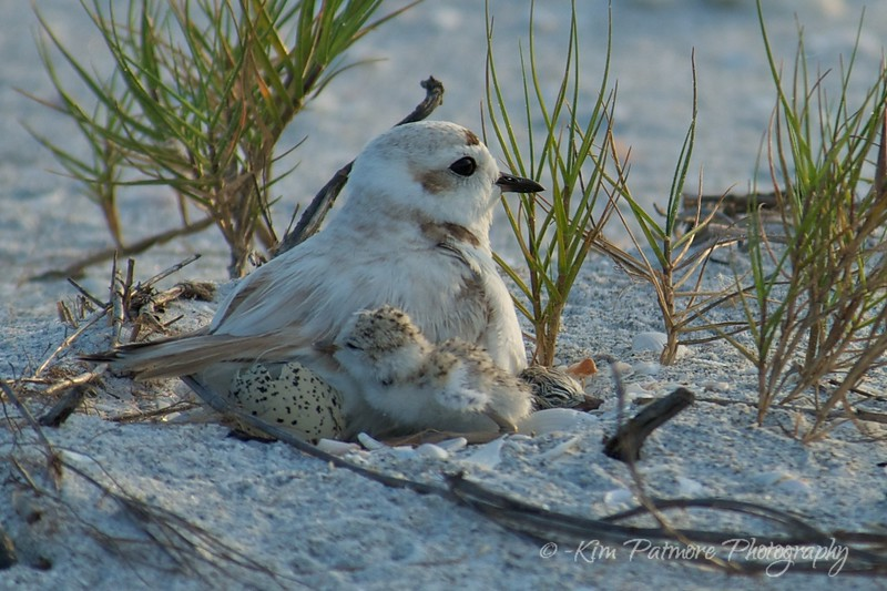 Snowy Plover with hatchling and first baby on the right. The cracked egg is on the left by the mom.  April 29, 2013, Sanibel, Florida - just after 7pm eastern time.