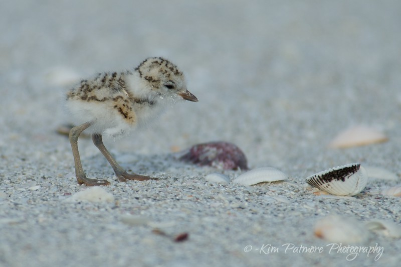 One day old Snowy Plover baby - see comparison to the sea shell.  April 30, 2013 in Sanibel, Florida.