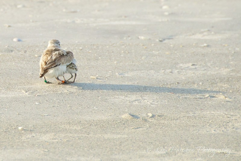 Mother's Day - Protected Snowy Plover and Chicks