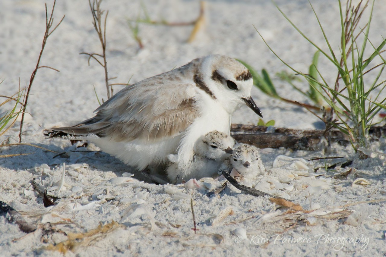 Snowy Plover and 2 New Born Chicks