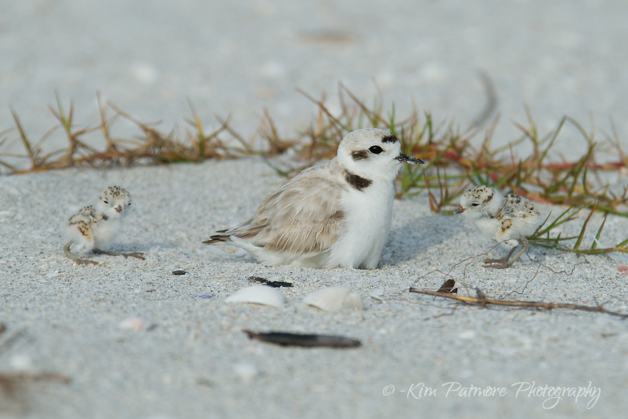 Snowy Plover and 2 one day old babies.  Morning of April 30, 2013 in Sanibel, Florida.