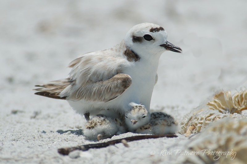 Snowy Plover and 2 one day old babies.  April 30 2013 in Sanibel, Florida.