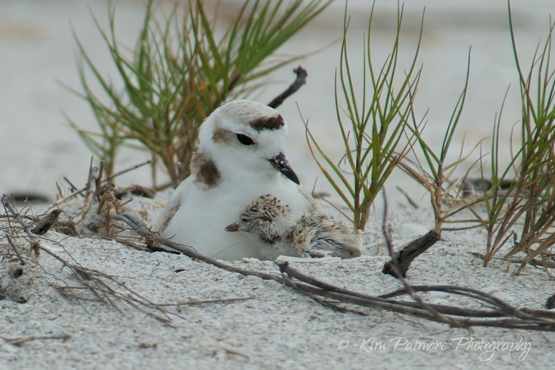 Snowy Plover Female and Baby Hatchling in Sanibel, Florida