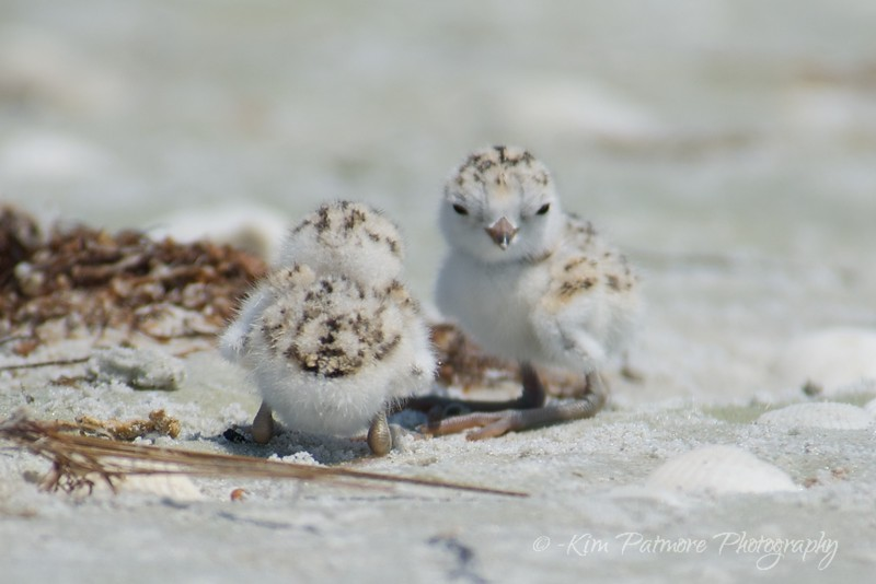 One day old Snowy Plover babies.  April 30, 2013 in Sanibel, Florida.