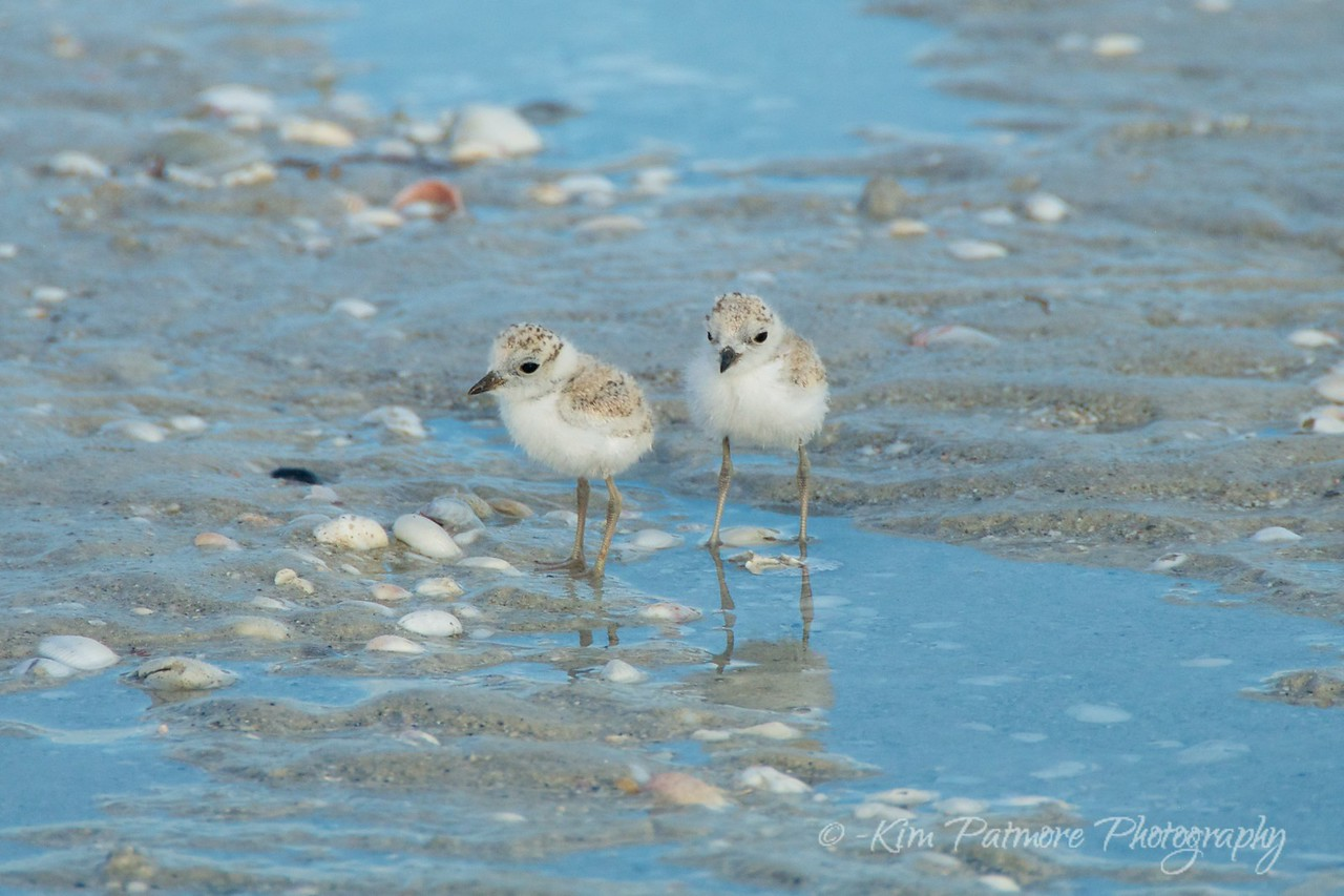 Protected Snowy Plover Babies - close crop