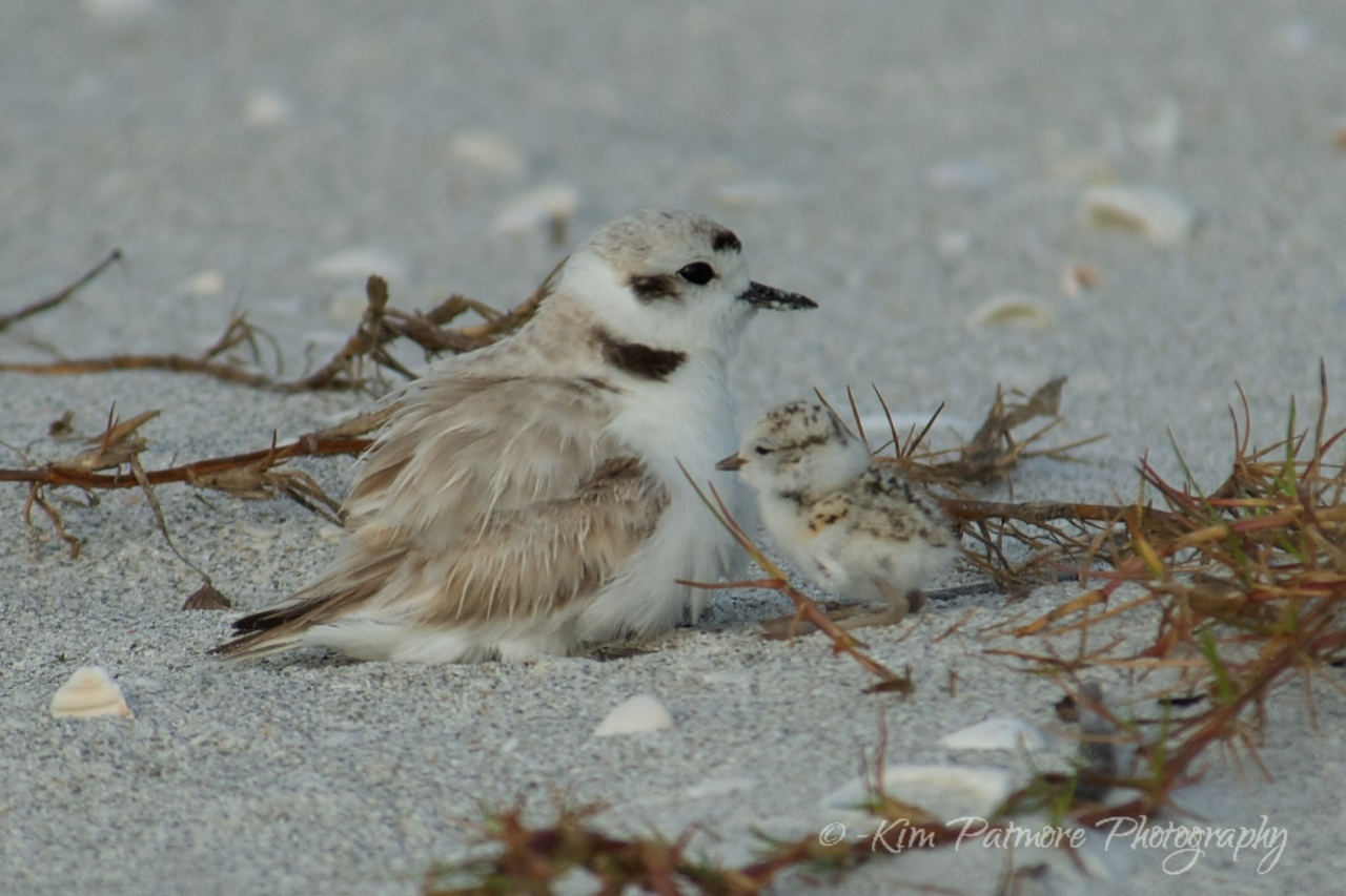 Snowy Plover female and one day old baby.  Morning of April 30, 2013 in Sanibel, Florida.
