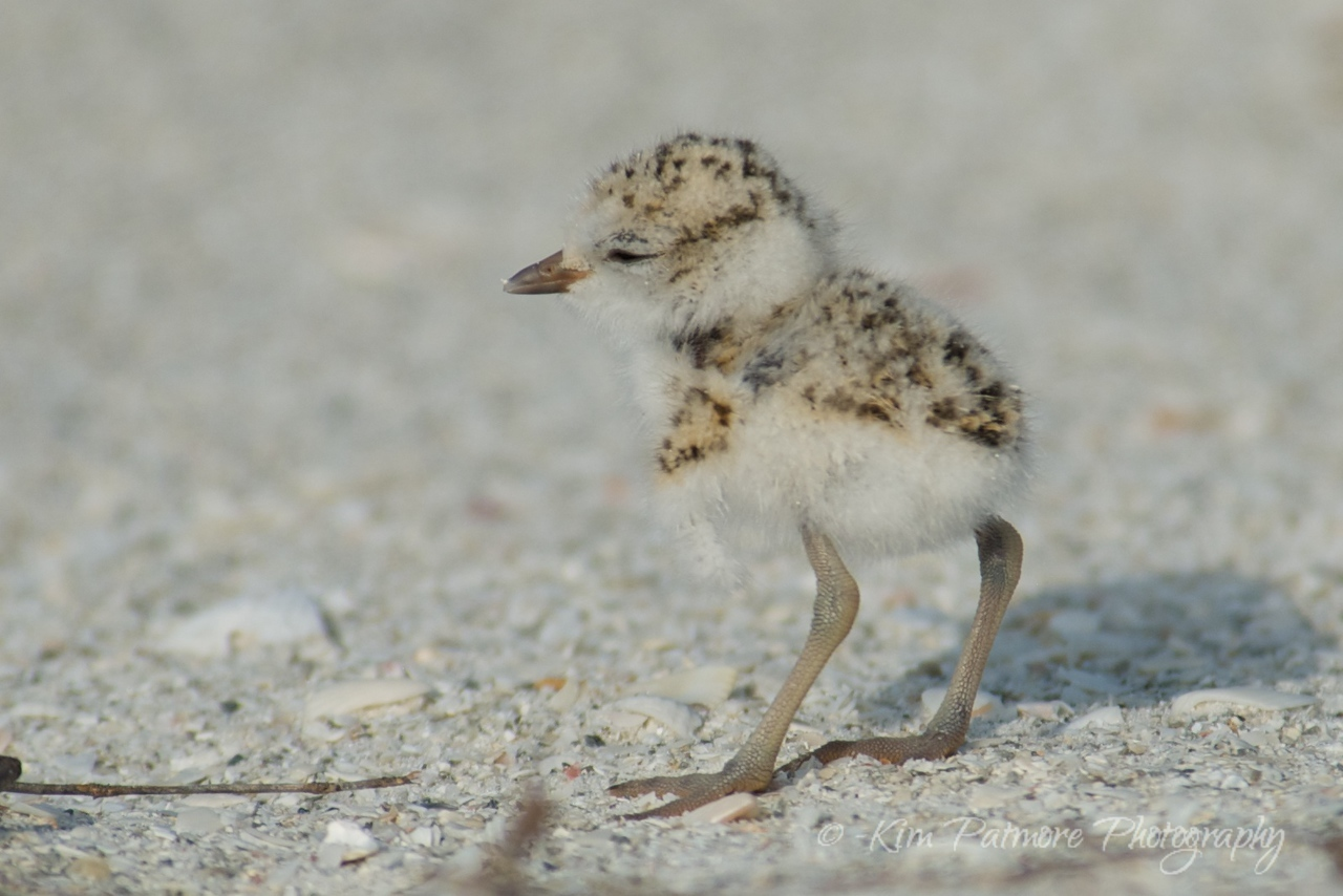 One day old Snowy Plover baby.  Morning of April 30, 2013 in Sanibel, Florida.