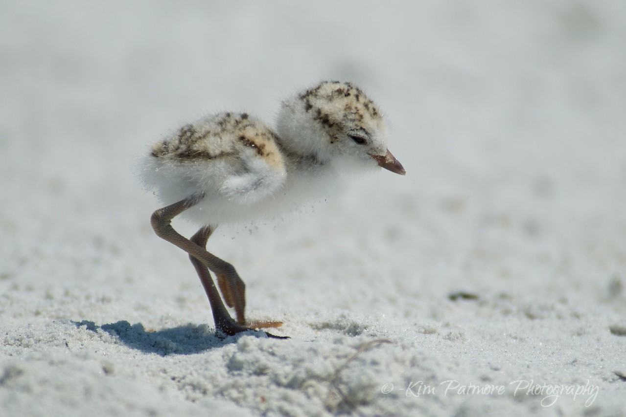 One day old Snowy Plover baby.  April 30, 2013 in Sanibel, Florida.