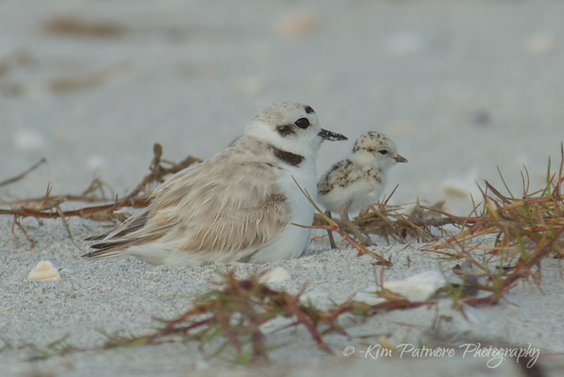 2014 Snowy Plover and Chick