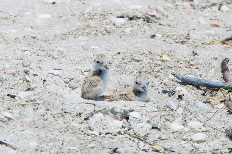 Protected Snowy Plover Chicks