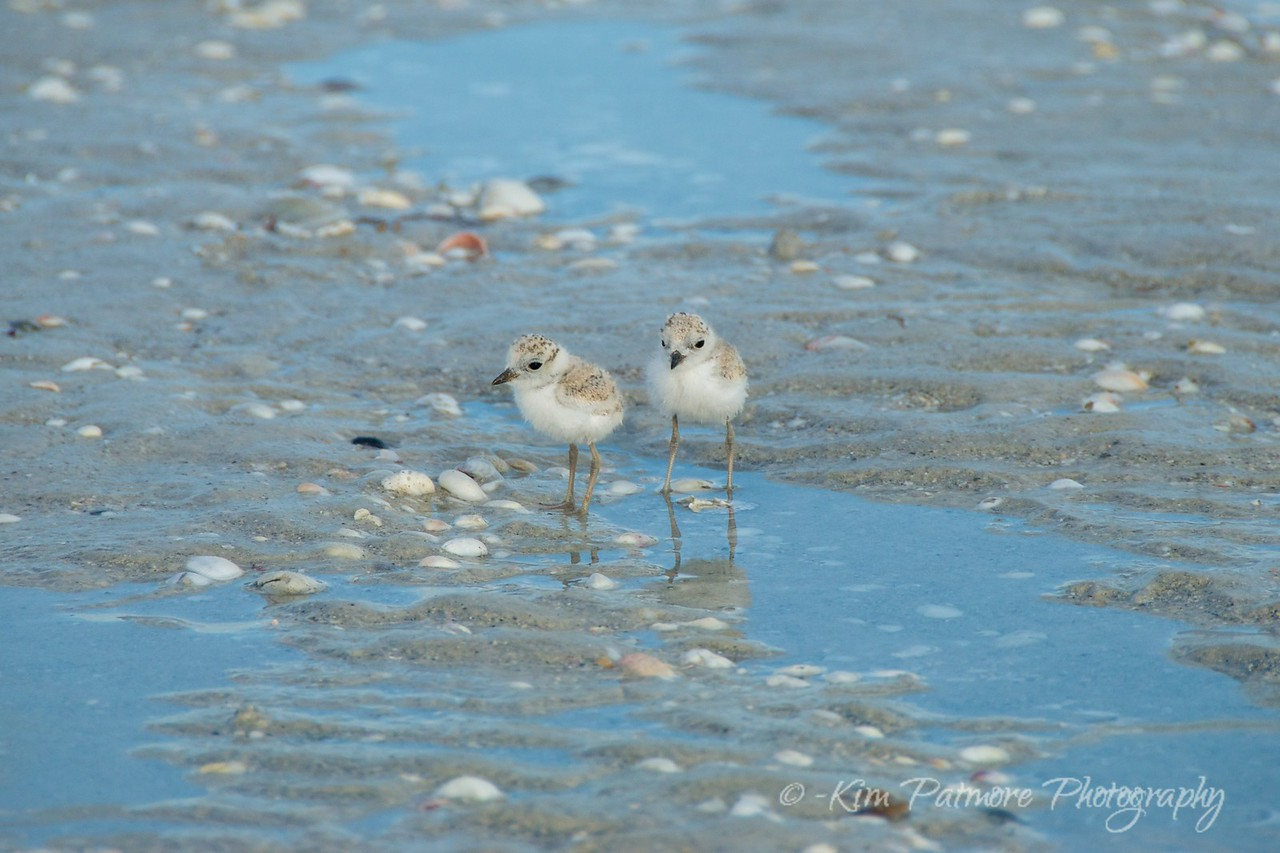 Protected Snowy Plover Babies