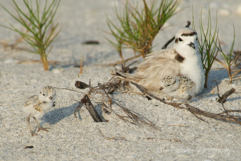 Snowy Plover and two babies. The morning of April 30, 2013 in Sanibel, Florida.
