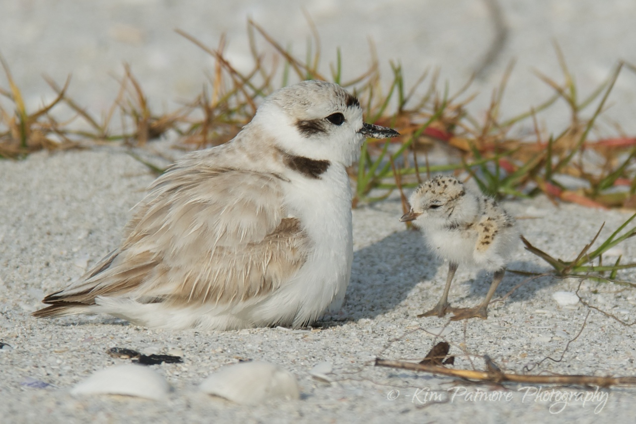 Snowy Plover and one day old baby.  Morning of April 30, 2013 in Sanibel, Florida.