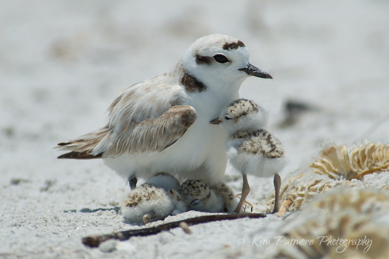 Snowy Plover and 3 one day old babies.  April 30 2013 in Sanibel, Florida.