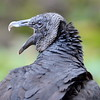 Squawking Black Vulture