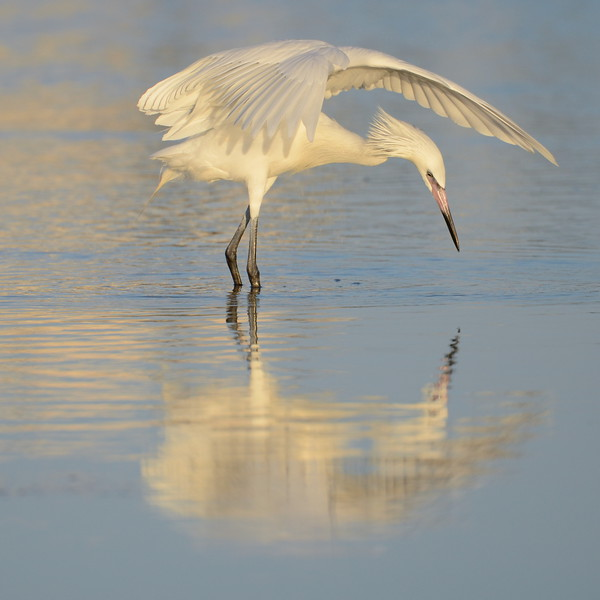 Reddish Egret (White Morph) exhibiting canopy hunting behavior