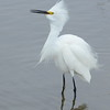 Snowy Egret in Display